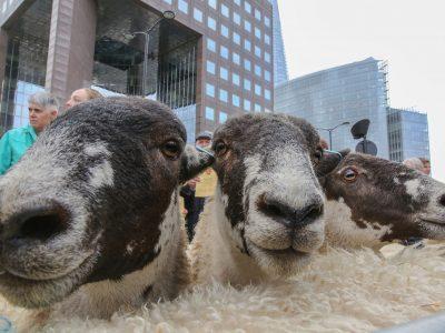 Sheep Drive & Livery Fair postponed to 2021